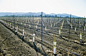 Young vines in Napa Valley, California, USA