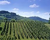 Vineyards near Bensheim, Hessische Bergstrasse, Germany