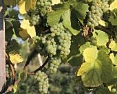Elbling grapes on the vine