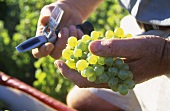 Measuring the sugar content of grapes with a refractometer