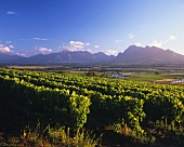 View of Simonsberg over vineyards at Fairview, Paarl, S. Africa