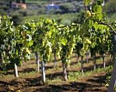 Müller-Thurgau vines
