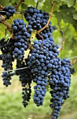 Sangiovese, Italian grape variety