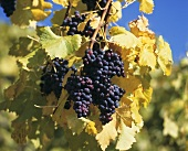 Spätburgunder grapes (also known as Pinot Noir)