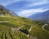 Vineyard near Saillon in the canton of Valais, Switzerland