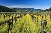 Ackersenf auf dem Shafer Weingut, Napa-Tal, Kalifornien, USA