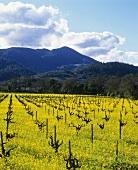 Ackersenf auf dem Robert Mondavi Weingut, Napa-Tal, USA