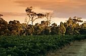 Cape Mentelle, wine region in Margaret River, Australia