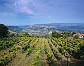 Wine-growing near Orvieto in Umbria, Italy