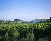 Vineyards in Latium, Italy