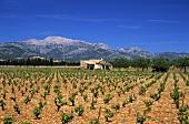 Vineyards near Santa Eugenia in Majorca