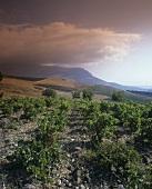 Weinberge auf Sizilien, Italien