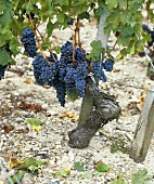 Cabernet Franc grapes on vine