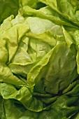 Lettuce (in detail)