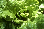 Lettuce plant in the field (close-up)