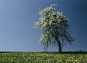 Pear Tree in Full Bloom with a Ladder