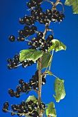 Black Currants on the Branch