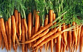 Lots of carrots with tops
