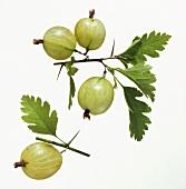 A Branch Full of Gooseberries