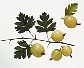 Ein Zweig mit Stachelbeeren & eine einzelne Stachelbeere
