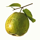 One Guava with Branch