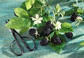 A Bush Full of Blackberries