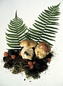Cep Mushrooms with Soil and Ferns