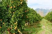 A Large Orange Tree