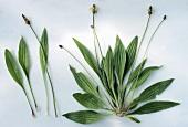 Spitzwegerich (lat. Plantago lanceolata)