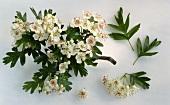 Hawthorn (Crataegus monogyna) twig with flowers & leaves