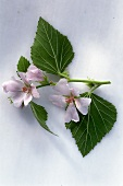 Mallow (Althea officinalis) sprig with leaves & flowers
