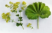Lady's mantle (Alchemilla mollis), sprig with flowers & leaf