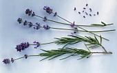 Lavendel, einige Stengel mit Blättern & Blüten