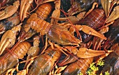 Many freshwater crayfish (close-up)