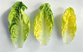 Romaine lettuce, three individual leaves side by side