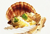 Pilgrim scallops on saffron sauerkraut in the shell