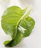 A beet leaf with short stalk on light background