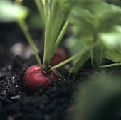 Radishes in the soil in the field