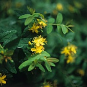 St. John's wort with yellow flowers (filling the picture)