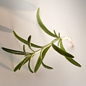 A sprig of rosemary on light background