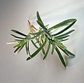 Two fresh sprigs of rosemary on light background