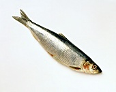 A herring on light background