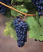 Merlot Grapes and Vine