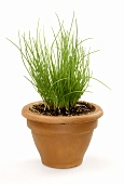 Chives in a clay pot