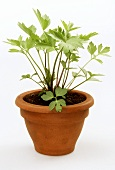 Lovage in a clay pot