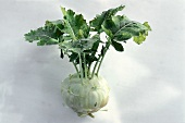 A kohlrabi with leaves