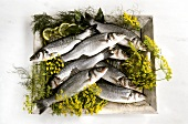 Fresh sea bass with dill on a wooden tray