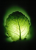A savoy leaf in a green backlight