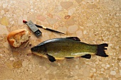 Tench on brown marble with weight and piece of white bread