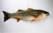 Striped bass on a ribbed white background